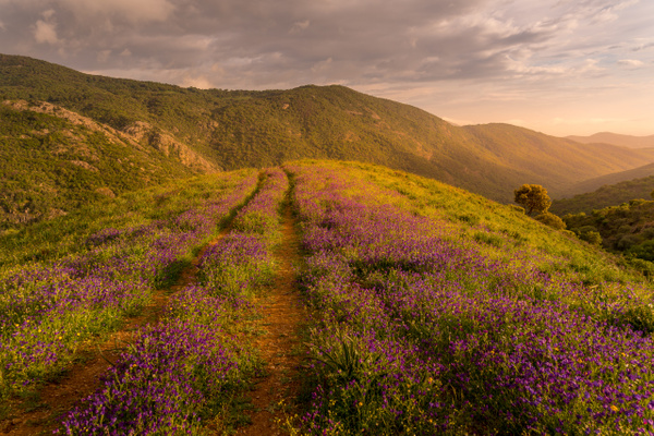Corsica Flowers - Landscapes by Serge Ramelli