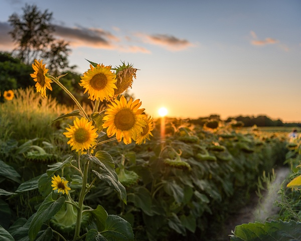 Sunflower Sunset - Prince Edward County - Home - Dee Potter Photography