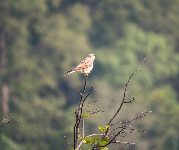Common Kestrel - Evacod Arts :: Gallery