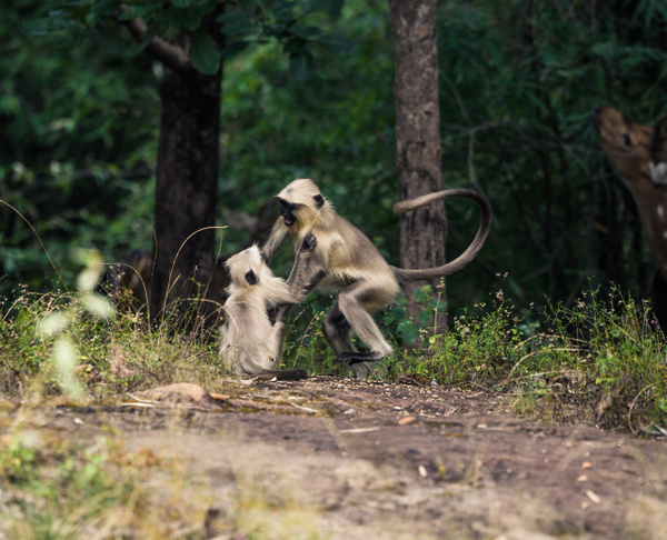 Grey Langur Bandhavgarh National Park - Evacod Art :: Home,Wildlife Photography, India