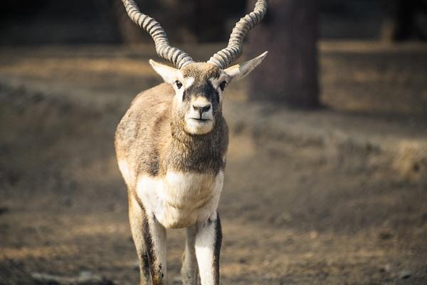 Male Deer in  NAHARGARH BIOLOGICAL PARK - Evacod Arts :: Gallery