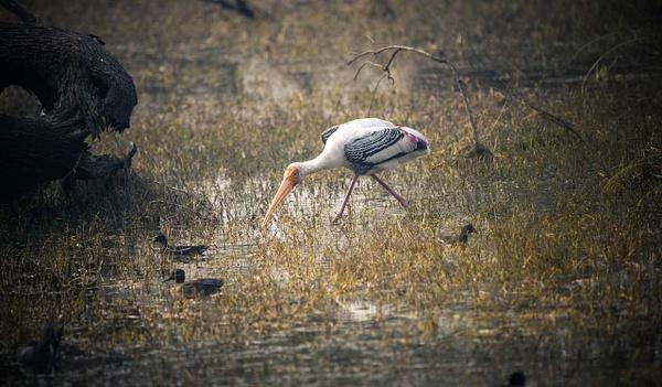 Painted Stork - Evacod Arts :: Gallery