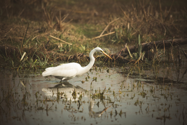 Eastern Great Egret - Evacod Arts :: Gallery