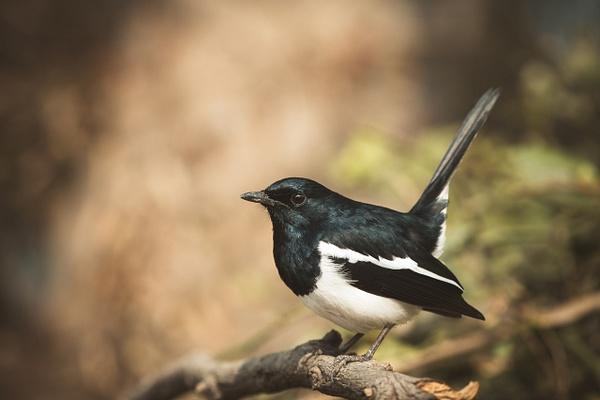 Oriental Magpie Robin - Evacod Arts :: Gallery