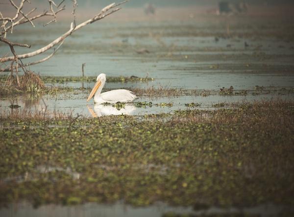 American White Pelican - Evacod Arts :: Gallery