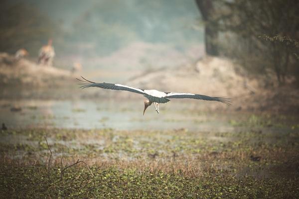 Flying Painted Stork - Evacod Arts :: Gallery