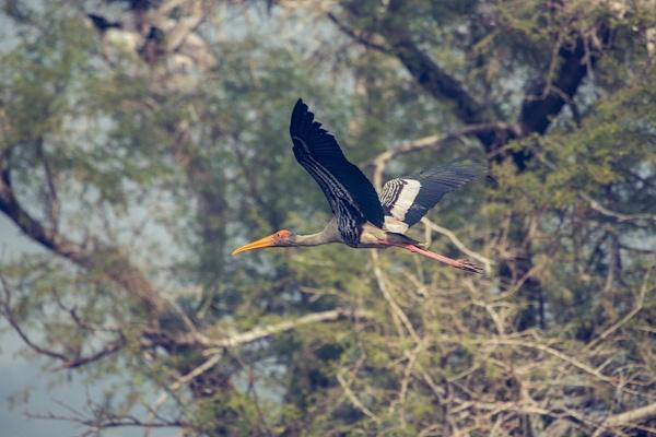 Flying Painted Stork - Evacod Art :: Home,Wildlife Photography, India