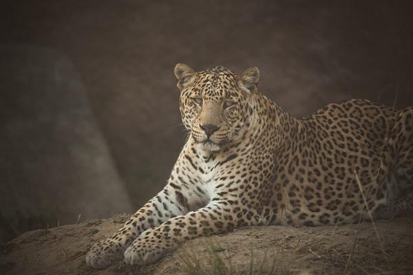 Leopard - Evacod Arts :: Gallery