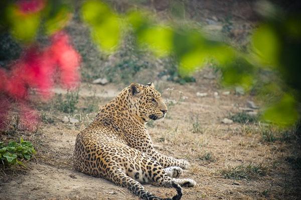 Leopard - Evacod Art :: Home,Wildlife Photography, India