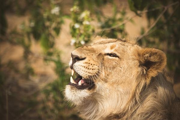 Lioness - Evacod Arts :: Gallery