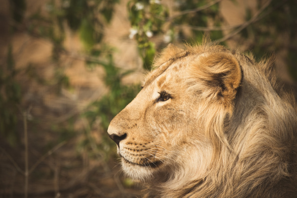 Lioness - Evacod Arts :: Portfolio