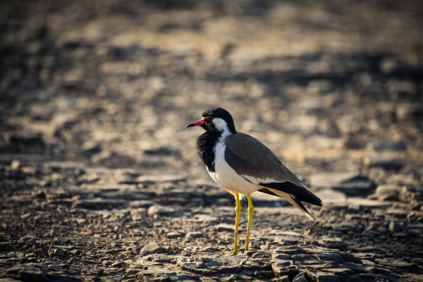 Red Wattled Lapwing - Evacod Art :: Home,Wildlife Photography, India
