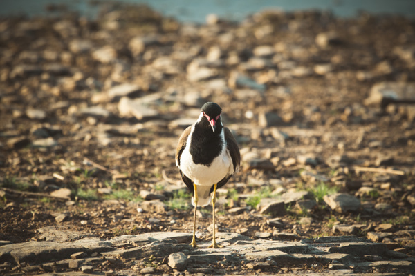 Red Wattled Lapwing - Evacod Arts :: Gallery