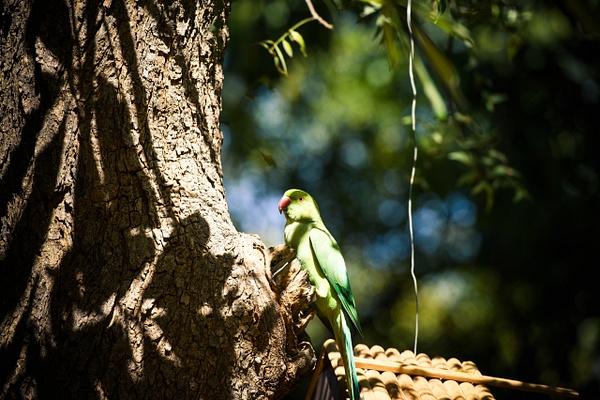 Rose Ringed Parakeet - Evacod Arts :: Gallery