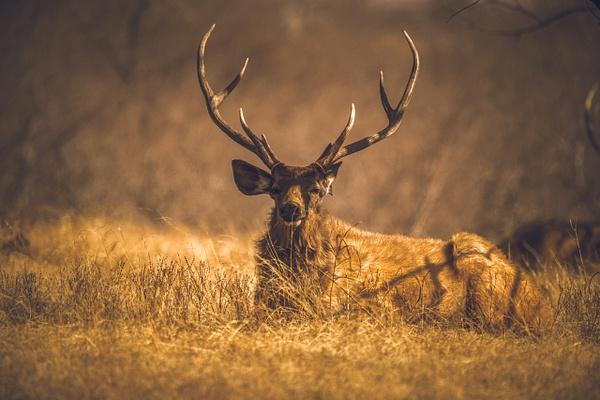 Sambar Deer - Evacod Arts :: Gallery