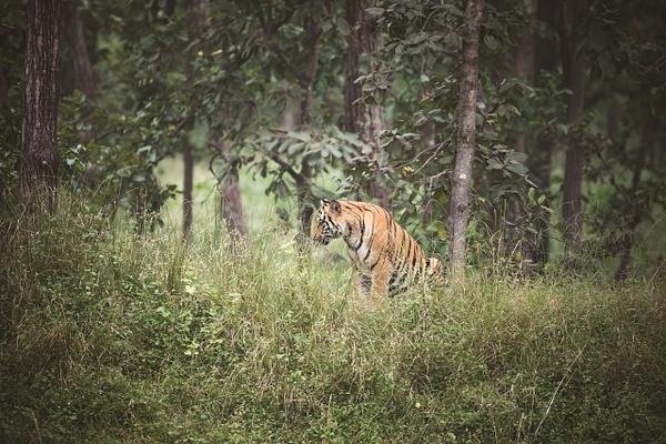 Tiger Cub - Evacod Arts :: Gallery