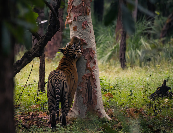 Mahaman Tiger - Evacod Art :: Home,Wildlife Photography, India