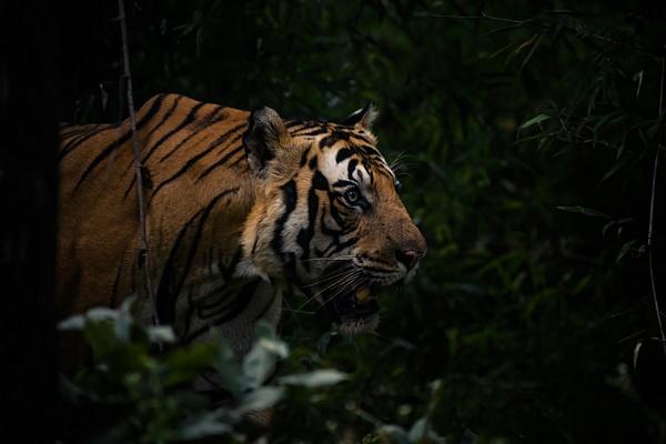 Mahaman Tiger - Evacod Arts :: Gallery