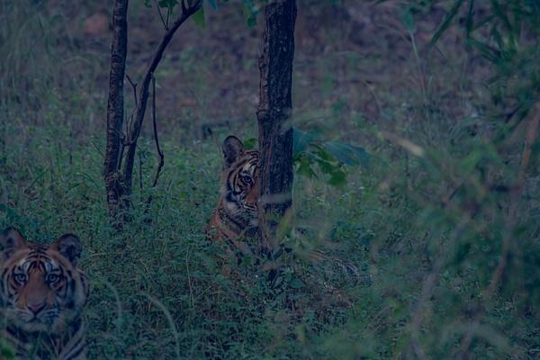 Tiger Cubs - Evacod Arts :: Gallery