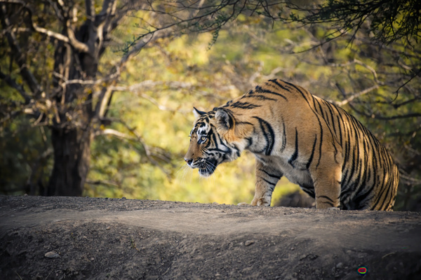 Tiger Jai - Evacod Art :: Home,Wildlife Photography, India