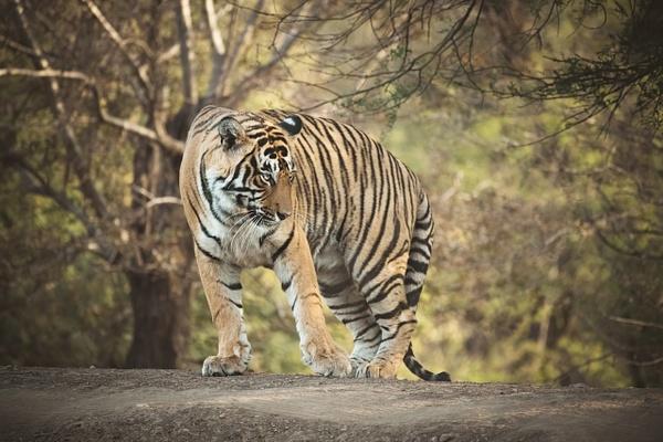 Tiger Jai - Evacod Arts :: Gallery