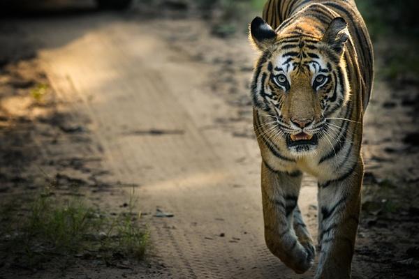 Tiger Spotty - Evacod Arts :: Gallery