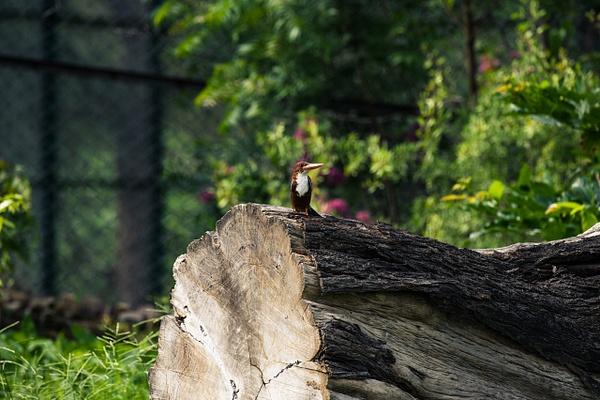 White-Throated-Kingfisher - Evacod Arts :: Gallery