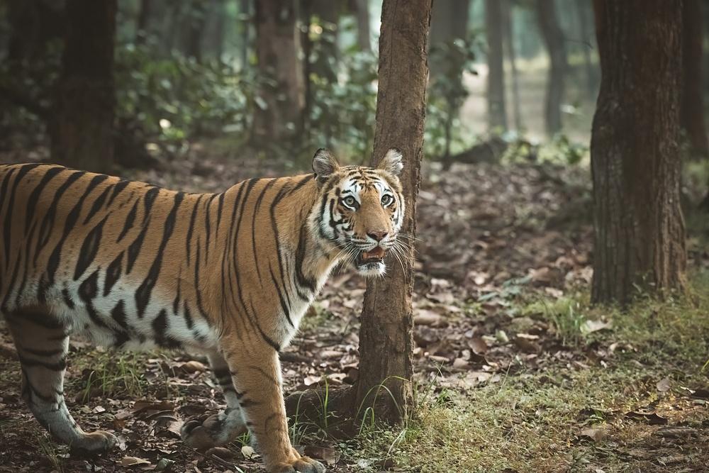 Tiger Spotty