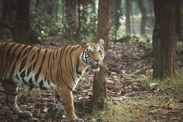 Tiger Spotty - Evacod Arts :: Portfolio