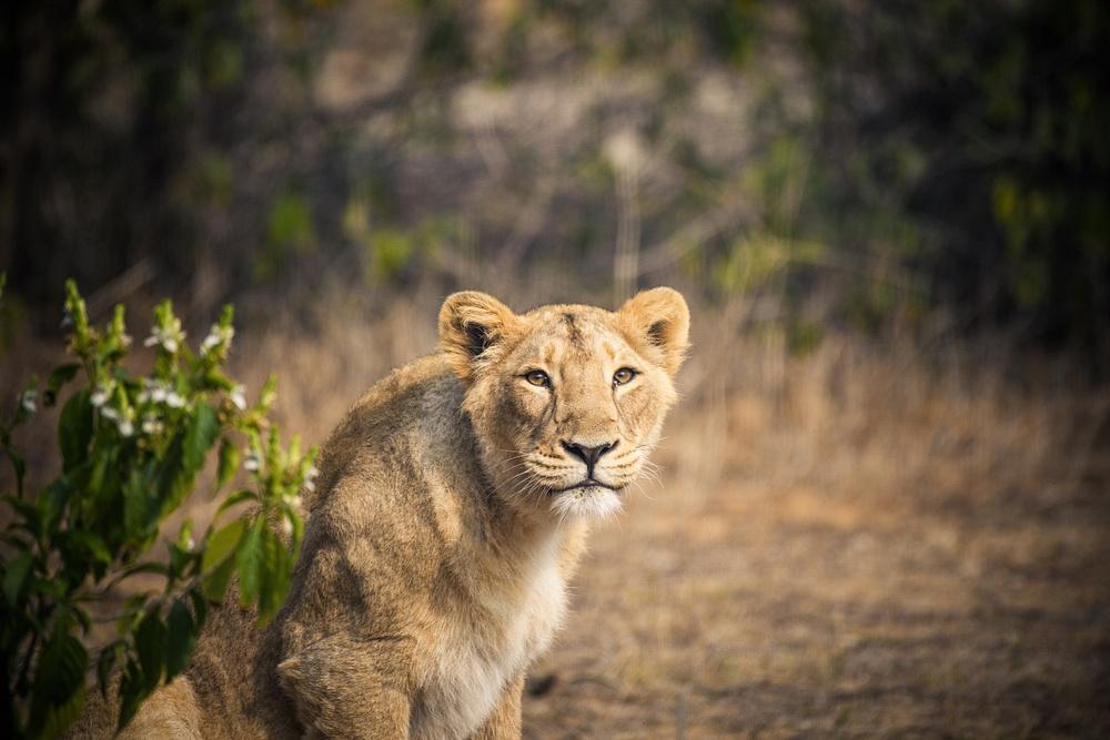 Lion-NAHARGARH-BIOLOGICAL-PARK-Jaipur-3