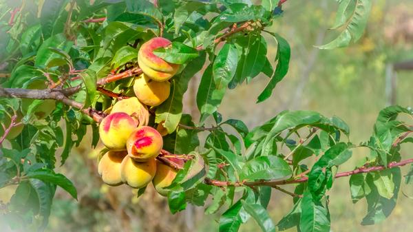 Peaches by Bruce Crair