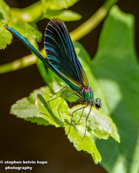 Dragon fly Rebrook-44-Edit-4 - Shropshire Wildlife