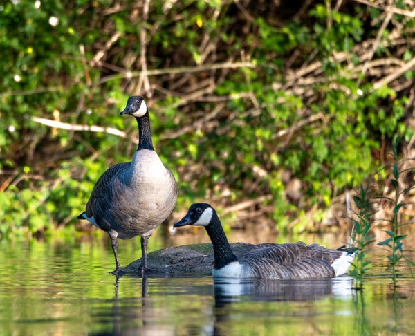 Heron-Swan-110-2 - Shropshire Wildlife
