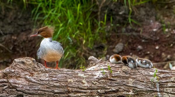 Gosslings on log-2 - Shropshire Wildlife