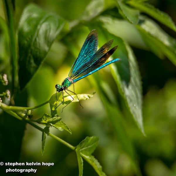 Dragon fly Rebrook-34-Edit-3 - Shropshire Wildlife