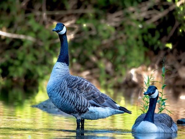 Heron-Swan-128-2 - Shropshire Wildlife