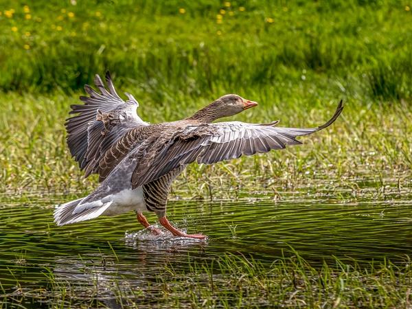 Landing Goose - Shropshire Wildlife