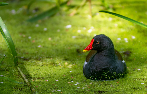 Moorhen on canal-1 - Shropshire Wildlife