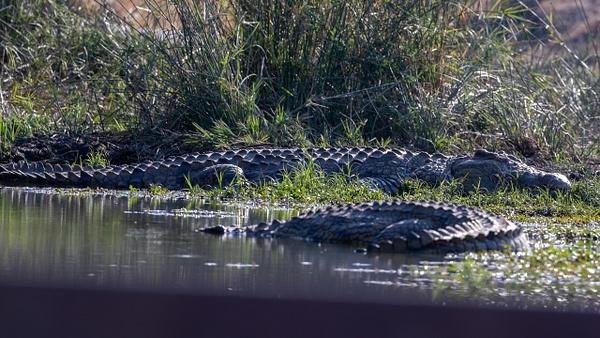 crocodile kruger national park-2 - Wildlife - Garth Fuchs Photography