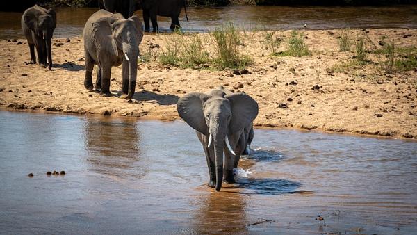 Elephant River Crossing kruger national park-2 - Wildlife - Garth Fuchs Photography