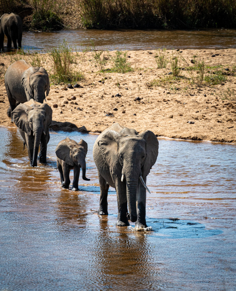 Elephant River Crossing kruger national park-1 - Wildlife - Garth Fuchs Photography