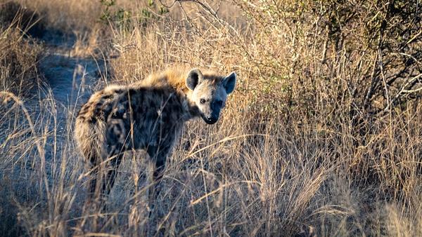 Hyena kruger national park-1 - Wildlife - Garth Fuchs Photography