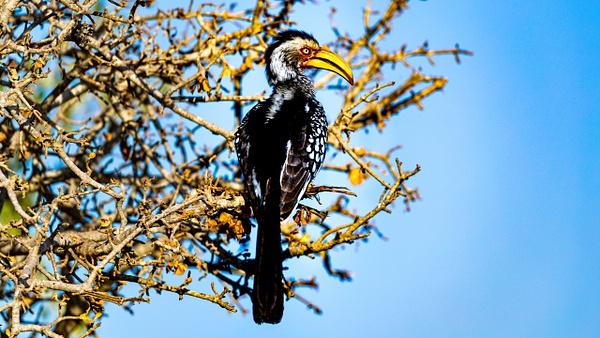 Hornbill kruger national park-1 - Wildlife - Garth Fuchs Photography