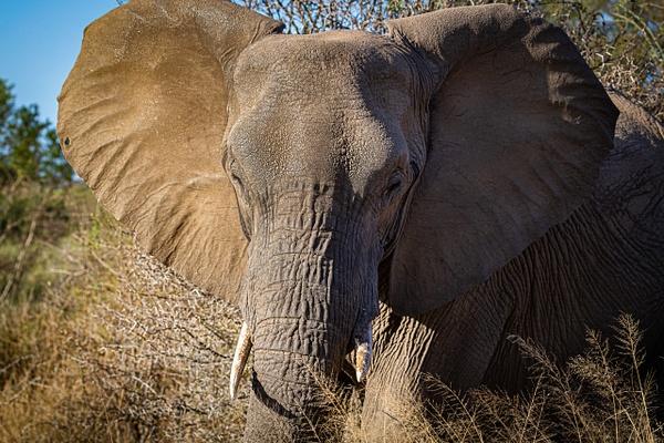 Young Elephant kruger national park-1 - Wildlife - Garth Fuchs Photography