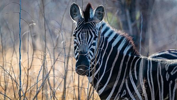 Zebra kruger national park-1 - Wildlife - Garth Fuchs Photography