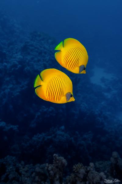 Sharm el-Sheikh - Masked Butterflyfish 001 - Underwater - Patrick Eaton Photography