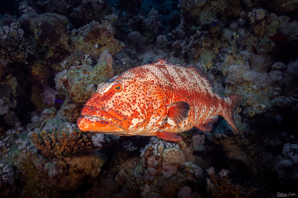 Sharm El-Sheikh - Grouper 001 - Underwater - Patrick Eaton Photography