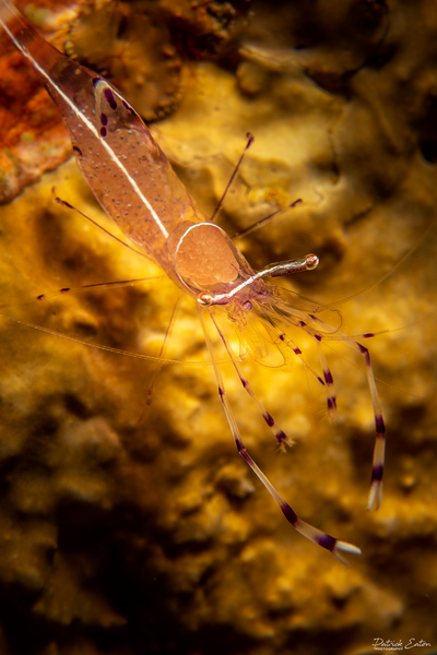 Sharm el-Sheikh - Shrimp 001 - Underwater - Patrick Eaton Photography