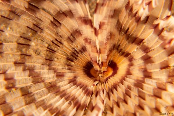 Sharm El-Sheikh - Spiral Tube Worm 001 - Underwater - Patrick Eaton Photography