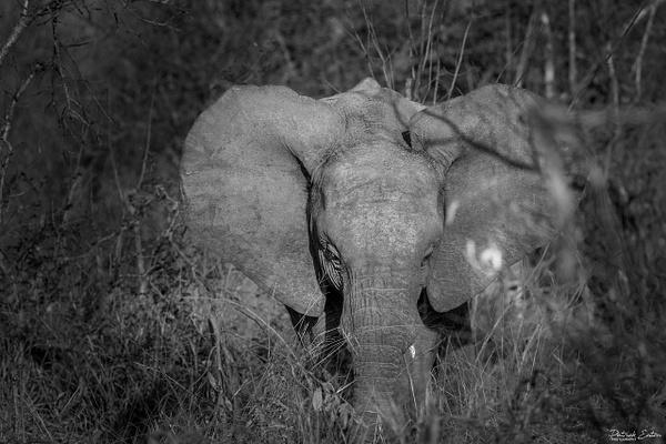Safari - Elephant 002 - Underwater - Patrick Eaton Photography